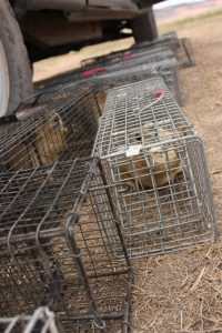 We keep the prairie dogs cool in the shade while they await processing.