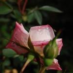 a lovely rose