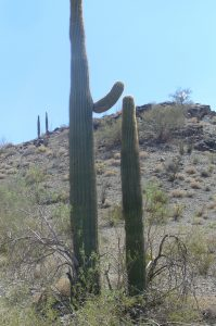 Carnegea gigantea, the giant saguaro, one of my favorite succulents!