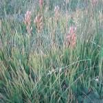 Narthecium californicum in a rare plant plot
