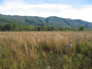 Former cattle pasture in Cades Cove now a restored native meadow dominated by Big Bluestem (Andropagon gerardis)