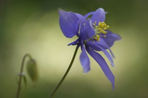 A special population of spurless Columbine known only from one location in Colorado.  Some of the flowers had no spurs at all, while others like this one had little nublets for spurs.