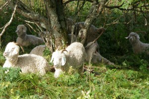 The goats of Roan