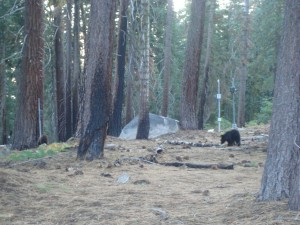 A couple of black bears near Crane Flat