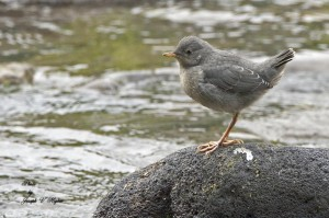 Watched this baby American Dipper at Lair o'the Bear park while scouting for seeds to collect.