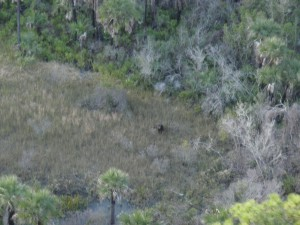 Black bear viewed from helicopter