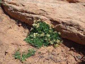 Barneby's Clover - Trifolium barnebyi