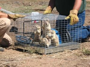 prairie dog release