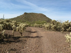 cholla forest on the ironwood