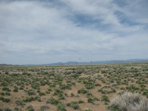 5 Greater Sage Grouse took off into flight after we tracked them using radio telemetry