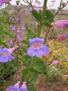 Showy Penstemon (Penstemon spectabilis) a native perennial.