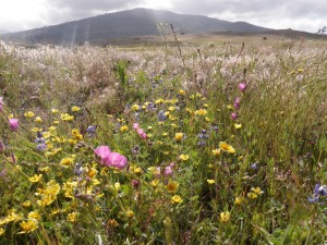 Wildflowers along the Sunrise Highway, Anza Borrego Desert State Park, CA.
