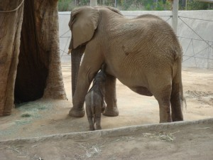 Another perk of being placed at the Wild Animal Park, is that we are able to get to know the collection animals, such as this African elephant and her baby- seen here at 1 week old.
