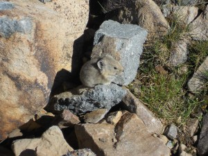 At Mosquitoes Gulch, we saw plenty of Pika gathering grass and hay.
