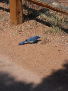 Colorado Blue Bird