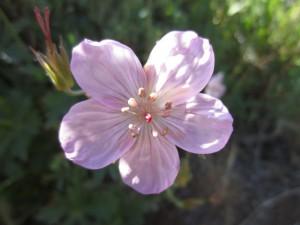 Geranium Viscosissimum- sticky purplr geranium (GEVI2)