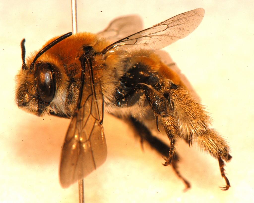 Hymenoptera: Apidae: Anthophora