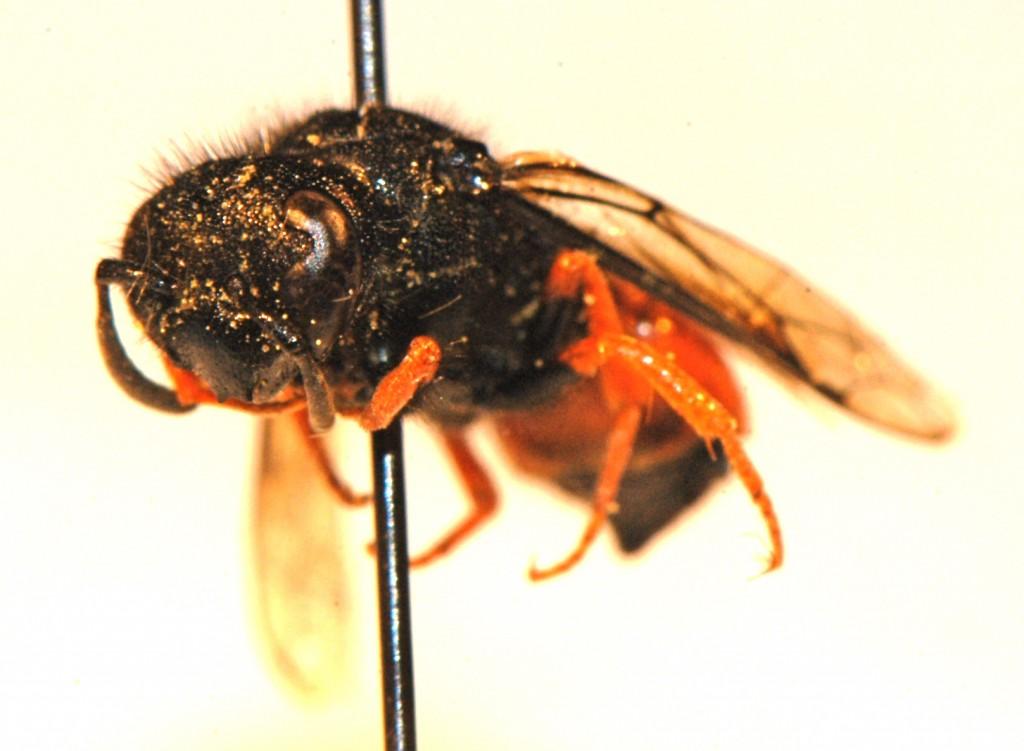 Hymenoptera: Vespidae: Odynerus