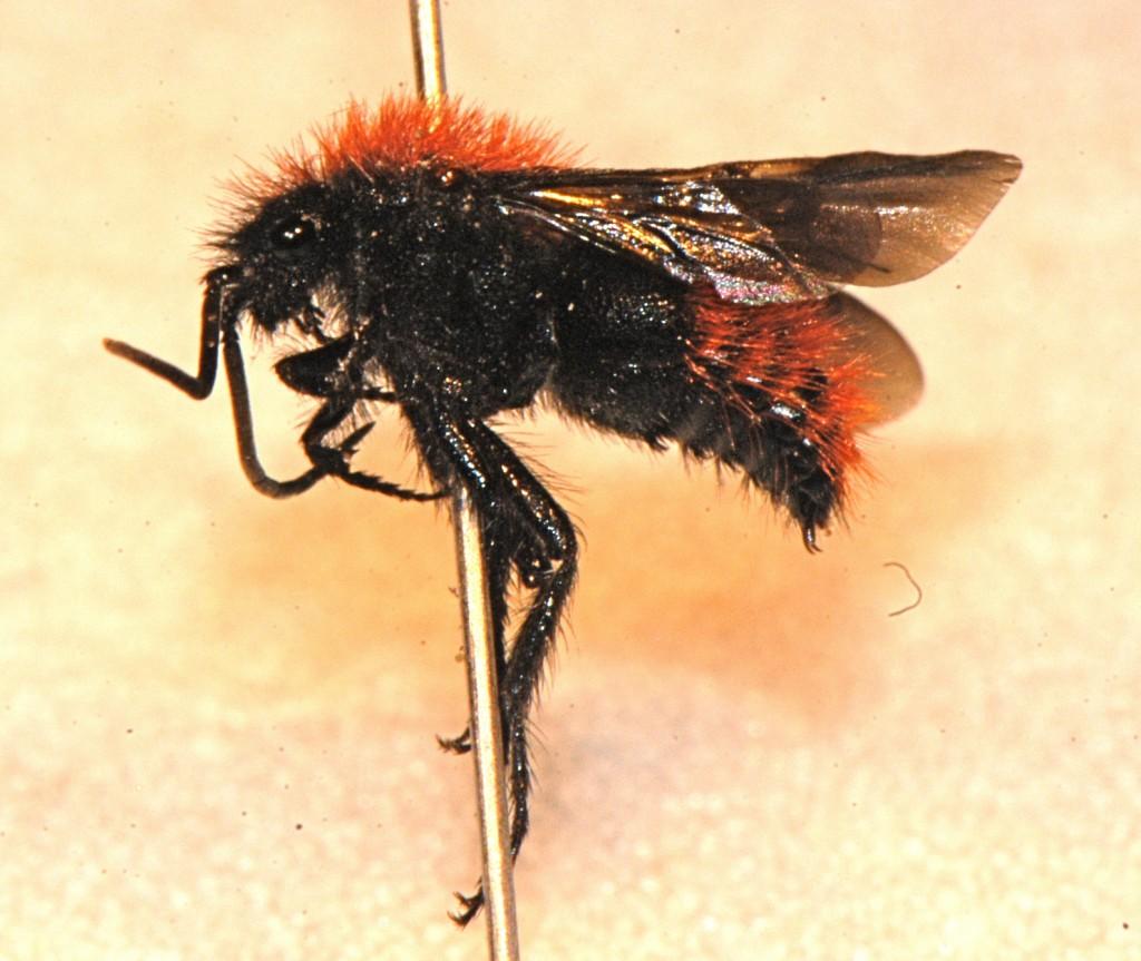 Hymenoptera: Mutillidae: Dasymutilla