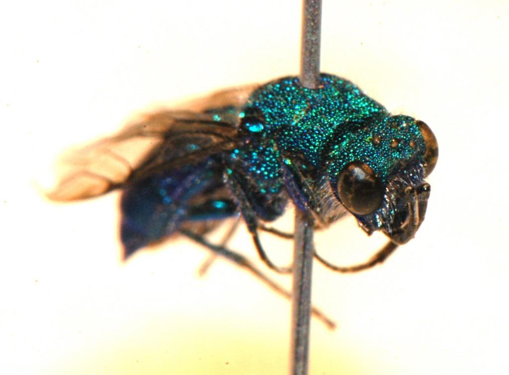 Hymenoptera: Chrysididae