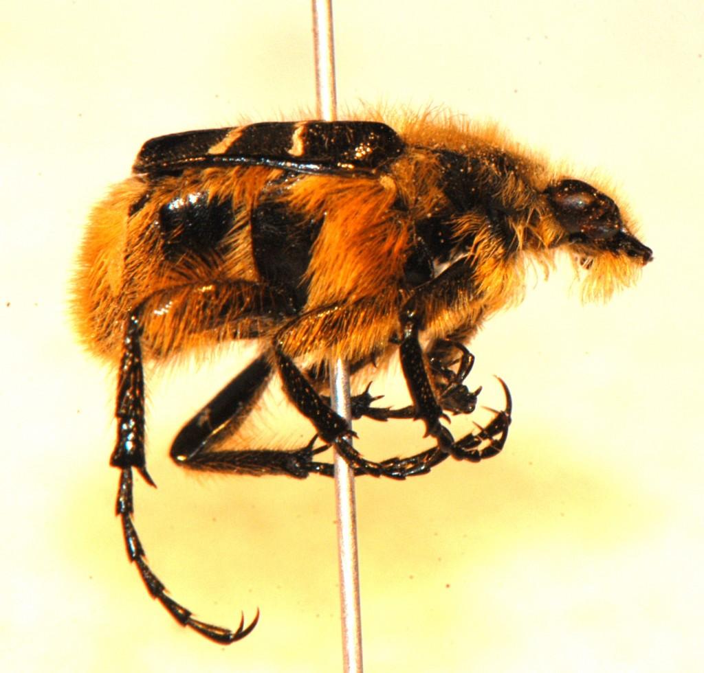 Coleoptera: Scarabaeidae