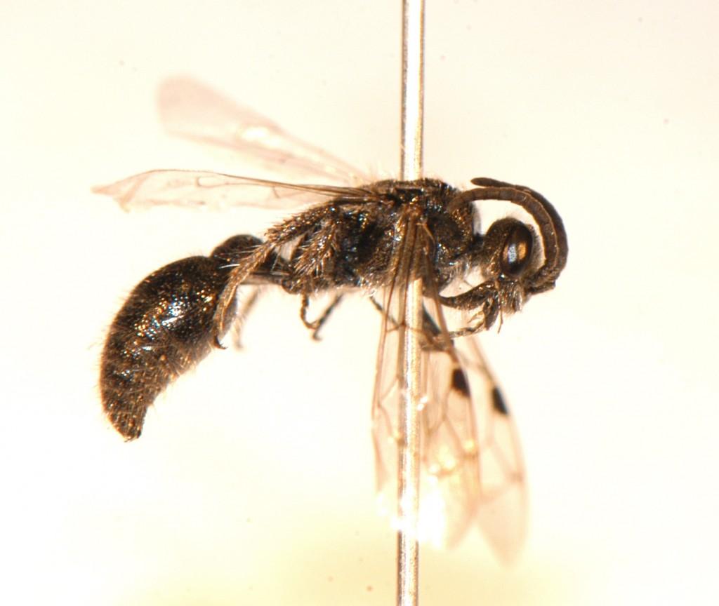 Hymenoptera: Mutillidae