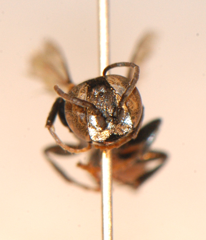Hymenoptera: Crabronidae
