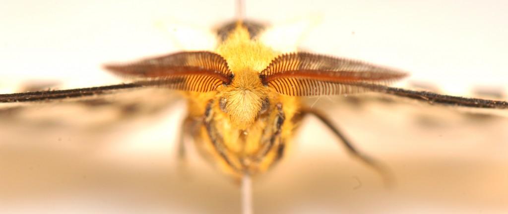 Lepidoptera: