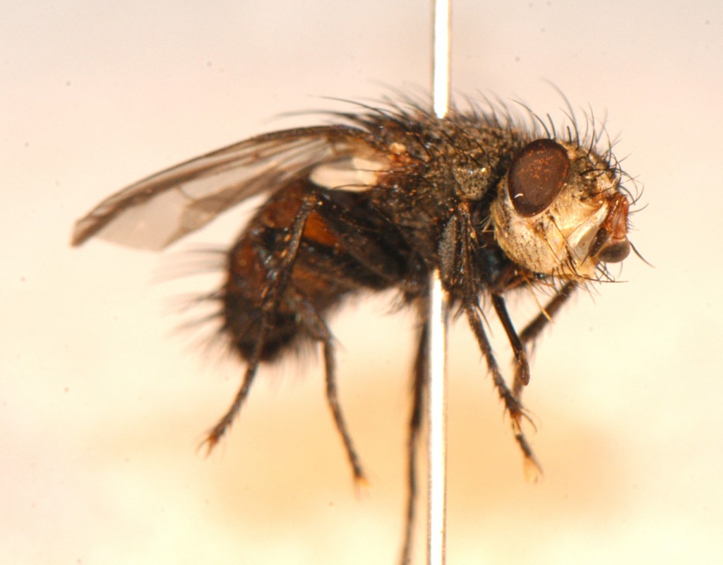 Diptera: Tachinidae -- This fly's face is Halloween-ready!