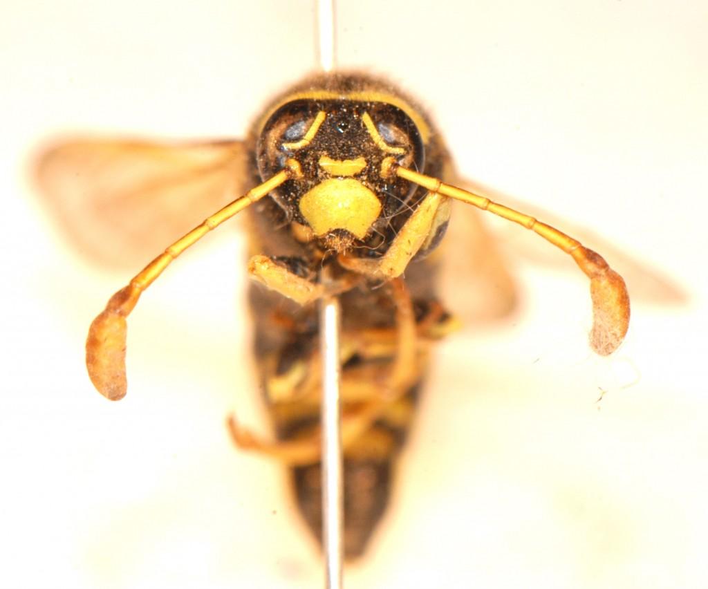 Hymenoptera: Vespidae