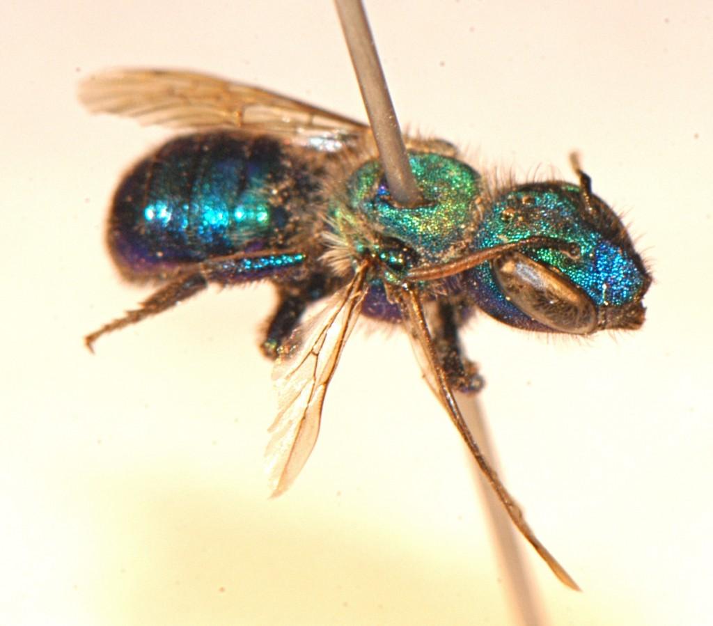 Hymenoptera: Megachilidae: Osmia