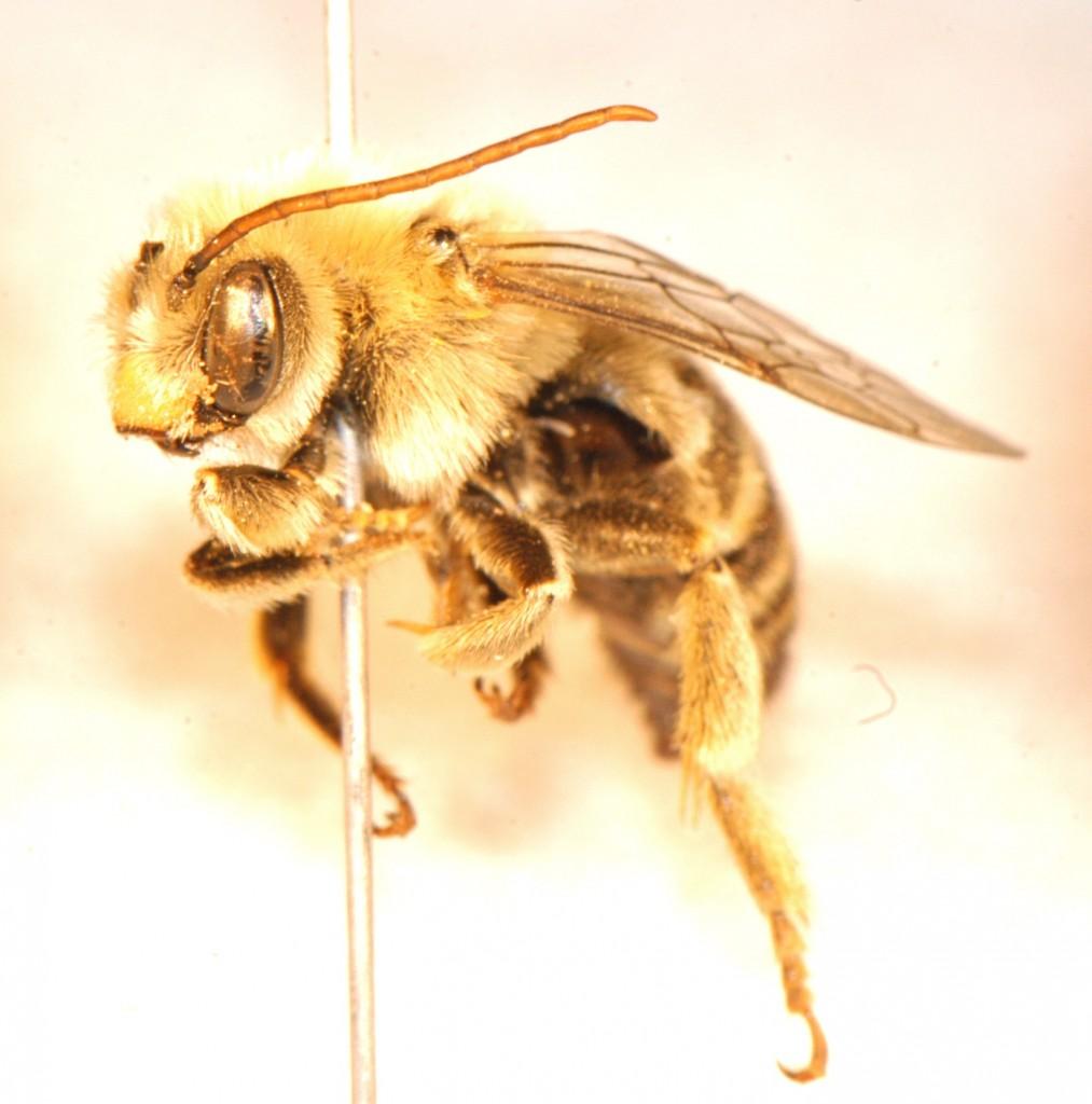 Hymenoptera: Apidae: Melissodes