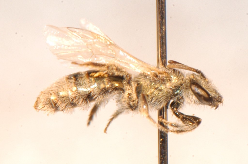 Hymenoptera: Halictidae: Lasioglossum, subgenus  Dialictus -- one of our most common native bees