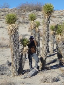 Coso Wilderness monitoring- Joshua Tree stand