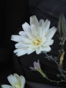 we were able to ID this one in the backseat - desert chicory (Rafinesquia neomexicana)!!
