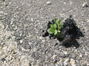 Iva axillaris breaking through asphalt at the base of C hill!