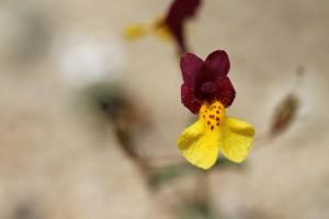 A rare find - Kelso Creek Monkeyflower.