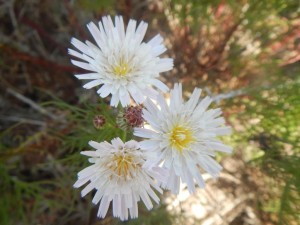 Cliff-aster