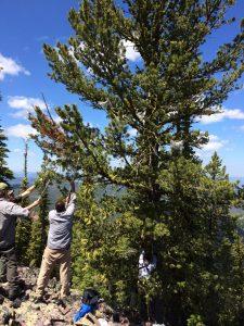 Caging whitebark pine cones