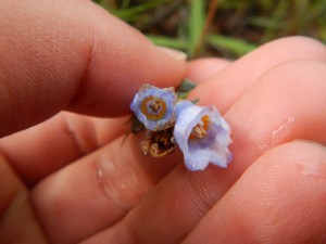 Bluebells-Mertensia paniculata (1)