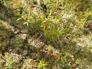 Labrador Tea-Ledum palustre ssp groenlandieum