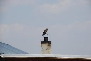 Hawk on top of Stevens Camp cabin.