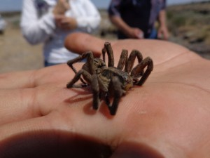 Found this not so little Wolf spider on the way down to a canyon. Later on I found one in my house . . . hint: It wasn't cool and exciting and was more on the side of terrifying.