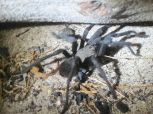 This is the first tarantula I have ever seen in the wild!