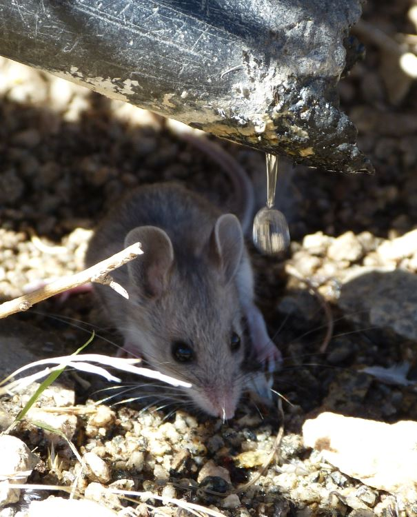 Wildlife utilizes available water from One Tub Spring