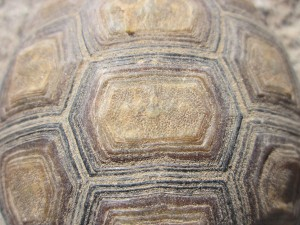 This is a tortoise shell. I think it is rather beautiful.