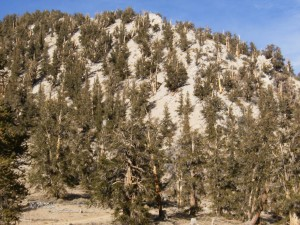 Inyo Forest Bristlecone Pine Forest