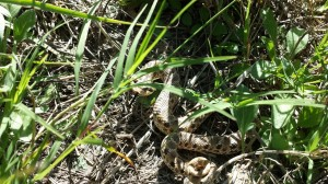 Working for the BLM maintaing a local trail system I discovered my first ever hognose snake.