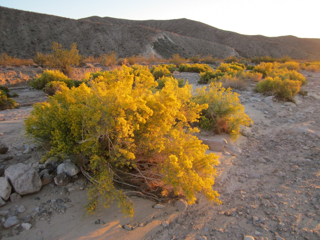 Ericameria paniculata (Mojave rabbitbrush). These plants absolutely glow in the evening sun. It is quite lovely.