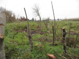 Salix plantings_12-2-14 (7)